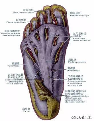 1、足底的解剖结构足底的皮肤下覆盖着厚厚的筋膜和腱膜,这里含有