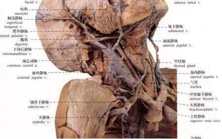 脖子血管结构图